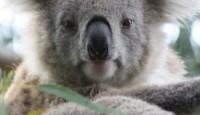 Australske koale pred izumiranjem