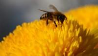 I pčele znaju brojati