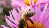Pčele raspoznaju lica
