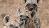 Smijeh hijene označava nadmoć