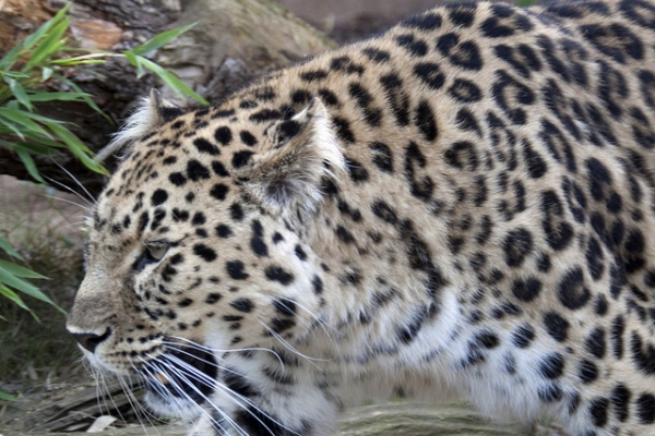 amurski leopard