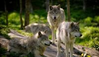 Vukovi kao ugrožena vrsta