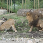 lavlja ljubav-2
