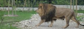 Lav Leo upoznao zagrebačke lavice