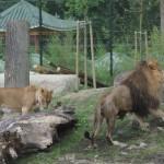 lavlja ljubav-3