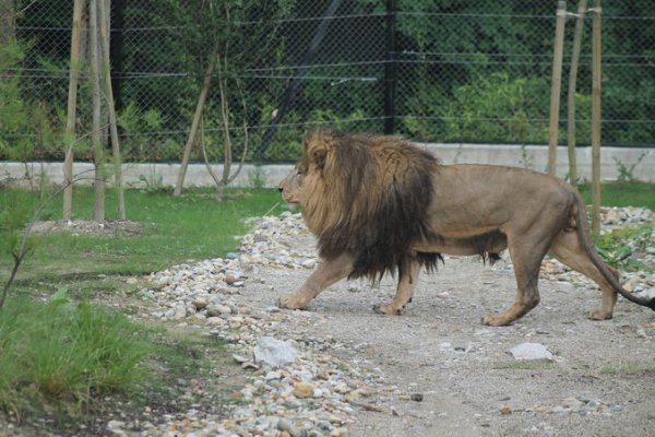 lavlja ljubav