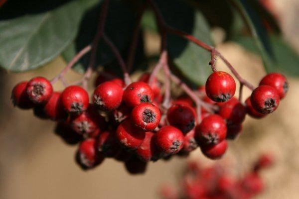 plodovi-sipka