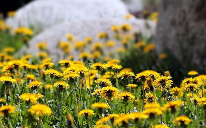cvijet maslačak