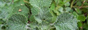 Ljekovita svojstva macine trave